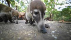 White-nosed Coati Stock Footage