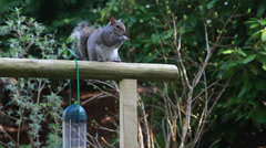 Clever Squirrel taking bird food Stock Footage