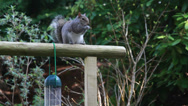 Stock Video Footage of Clever Squirrel taking bird food