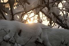 snow on the bare branches of a tree in the dawn sun - stock photo