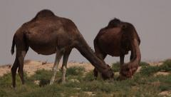 Two camels eating grass in a desert oasis, Egypt Stock Footage