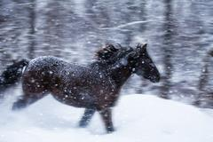 Fast horse galloping during a blizzard in nature Stock Photos