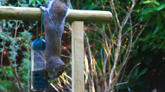 Squirrel upside down eating Stock Footage