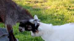 Cute Goats Butting Heads Stock Footage