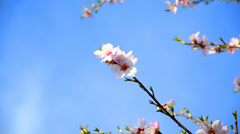 cherry tree flowers blooming in springtime.tree sway by wind against blue sky - stock footage