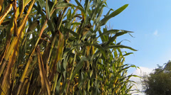 Bugs Fly Around Corn Stalks Stock Footage
