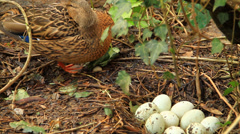 Female Duck near a nest of eggs Stock Footage