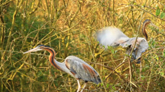 Tricolored Heron Stock Footage