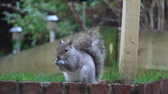 Squirrel moving around garden looking for food Stock Footage