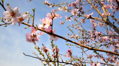 Flowering cherry in spring on a sunny day Stock Footage