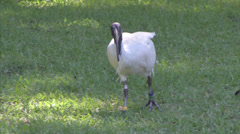 Australian White Ibis roaming in Hyde Park - stock footage