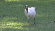 Stock Video Footage of Australian White Ibis roaming in Hyde Park