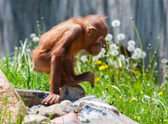 baby orangutan - stock photo