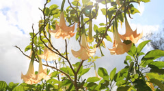 Datura angel's trumpet blossoms and summer wind Stock Footage