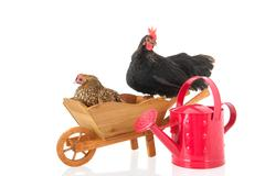 Chickens on wheel barrow Stock Photos