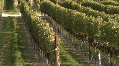 Agriculture, hillside vineyard just before harvest, tilt reveal, late afternoon Stock Footage