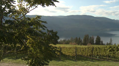 Agriculture, hillside vineyard and lake, just before harvest, short pan Stock Footage