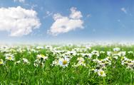 Stock Photo of Field of daisies with bright sun on the sky