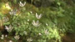 Spotted Saxifrage with white flowers Stock Footage