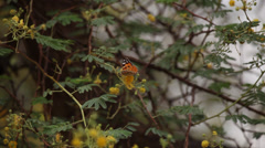Butterfly flying away from a tree in the desert, Egypt Stock Footage