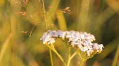 Yarrow herb Stock Footage