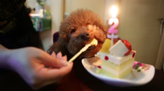 A two-year-old Poodle enjoys her birthday cake during a celebration - stock footage