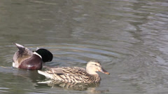 Mallards on a Lake Stock Footage