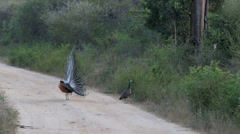 Peacock dancing and displaying eye-spotted tail feathers to disinterested peahen Stock Footage
