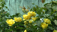Full bloomed yellow color UK roses. (ROSE--70) Stock Footage