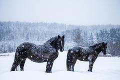 Horses looking at the camera during a snowstorm Stock Photos