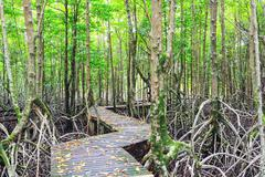 Stock Photo of mangrove forest boardwalk way