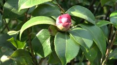 A UK rose tree with red rose bud. (ROSE--84) Stock Footage