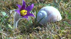 Die Küchenschellen, Kuhschellen (Pulsatilla vulgaris ) blühen Stock Footage