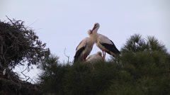 WHITE STORKS (CICONIA CICONIA) NEST Stock Footage
