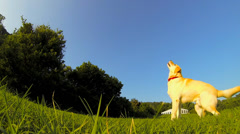 Dog Playing and Jumping Stock Footage