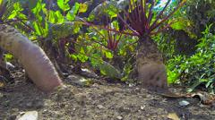 Sweet Potato in Vegetable Garden Stock Footage