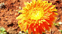 Flowers of India. Mysore. Karnataka Stock Footage