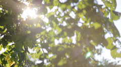 Fresh spring green  leaves in sunlight Stock Footage
