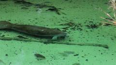 Manatee swims along river bottom HD 1909 Stock Footage