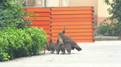Peacocks on the street in the Indian city Stock Footage