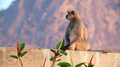 Langur monkey in the Indian city Stock Footage