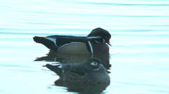 Wood duck bathing Stock Footage