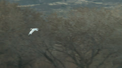 A single snow goose Stock Footage