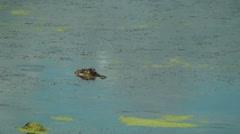 Alligator in the marsh Stock Footage