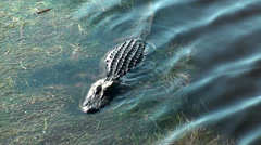 Alligator lowers and raises his body in the marsh water - stock footage
