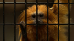 Golden lion tamarin in cage. Stock Footage