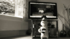 Dog watching herself on TV (b & w dolly) Stock Footage