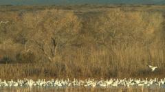 Snow geese flying in at bosque del apache Stock Footage