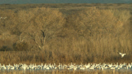 Stock Video Footage of snow geese flying in at bosque del apache