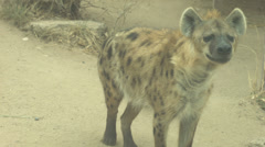 Hyena sniffing Stock Footage
